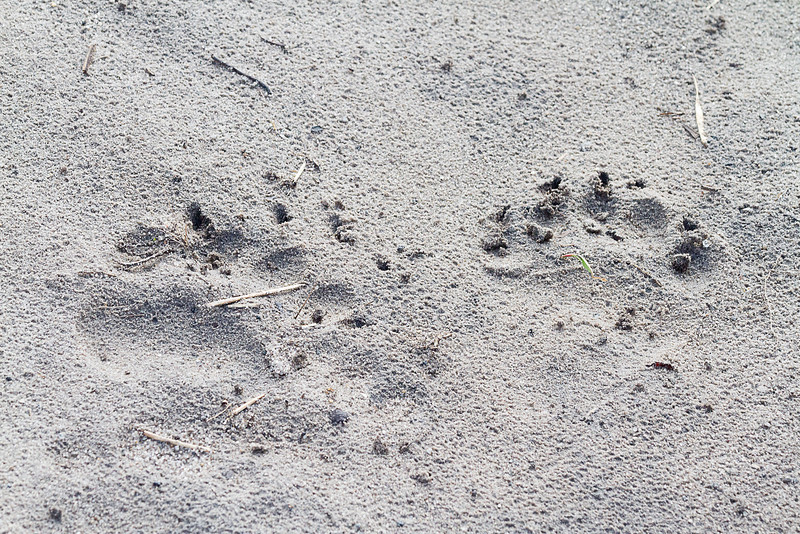 Black bear track near Pungo Lake
