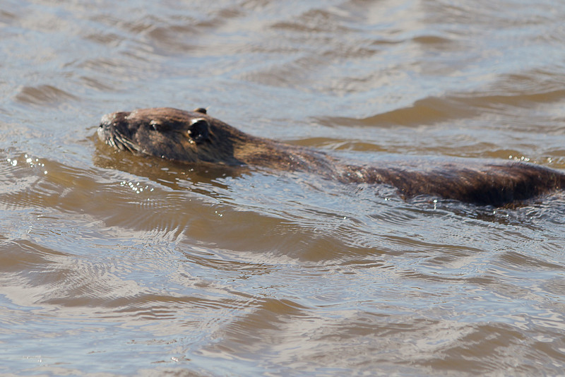 Nutria in Lake Mattamuskeet