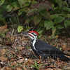 Pileated Woodpecker searching for bugs on the ground in Ontario, Canada.