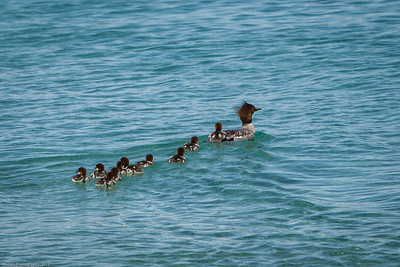 Mama duck weaves in and out of the people to get her babies to safety.