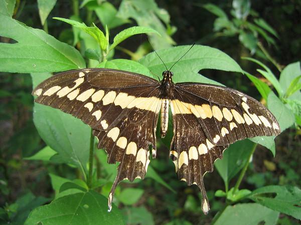 A giant swallowtail (Papilio cresphontes) (209_0946)