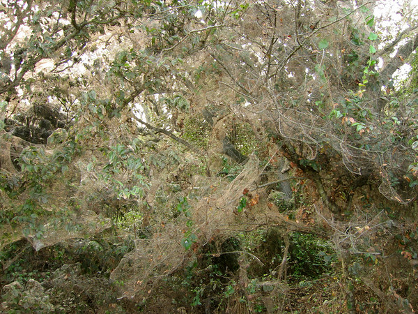 Trees and brush entombed in one large spider web (210_1005)