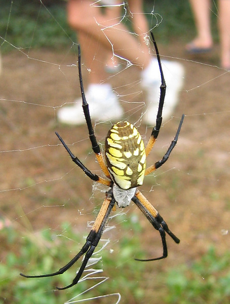A female Black & Yellow Argiope (a.k.a Yellow Garden Spider, Argiope aurantia) (210_1031)