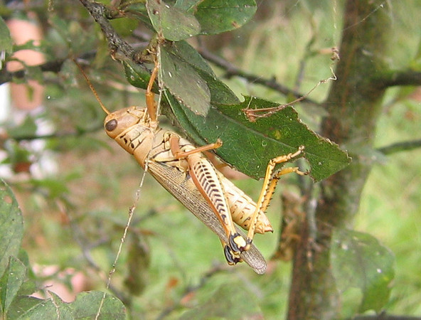 A Differential Grasshopper (Melanoplus differentialis) hanging from a leaf (210_1033)