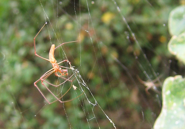 A Long-jawed Orb Weaver of the genus Tetragnatha (210_1041)