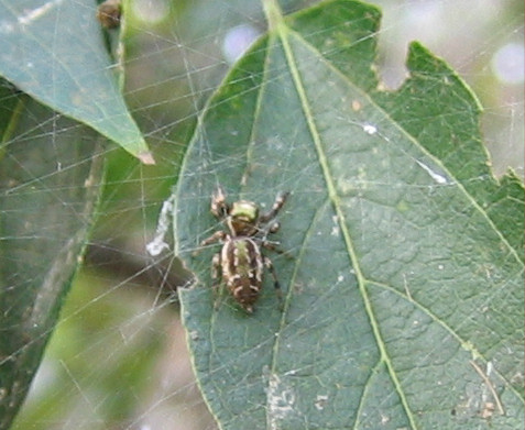 An unidentified spider (209_0999)