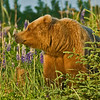 Bear in the Lupin