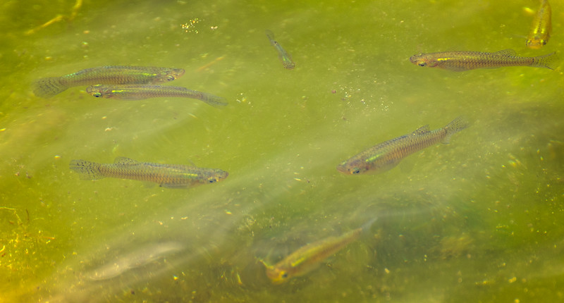 Fish In The Enclaves Pond