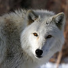 Lakota Wolf - Feb 2010