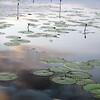 Lamanai water lilies 3-11