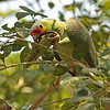 red-lored parrot with wild okra- Lamanai