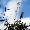 cowhorn orchids Lamanai