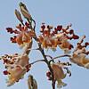 cowhorn orchid- Lamanai