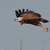 black-collared hawk flying- Lamanai