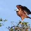 black-collared hawk- Lamanai