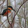 american pygmy kingfisher- Lamanai