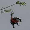 ringed kingfisher- Lamanai