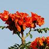 flowering tree- Lamanai