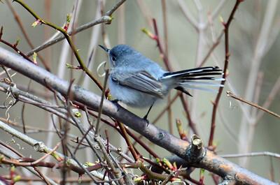 Blue-grey gnatcatcher