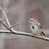 Song sparrow (2)