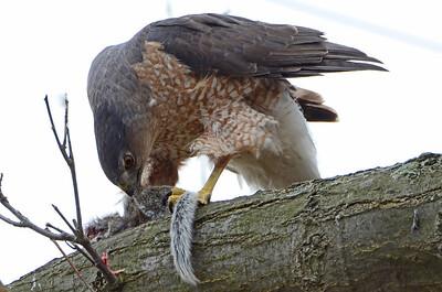 Cooper's hawk (8)