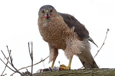 Cooper's hawk (5)