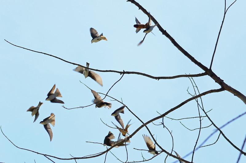 Tree swallow (9)