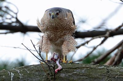 Cooper's hawk (6)