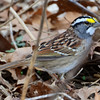 White-throated sparrow (3)