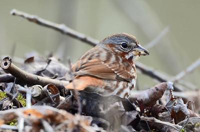 Fox sparrow (4)