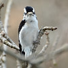 Downy woodpecker (7)