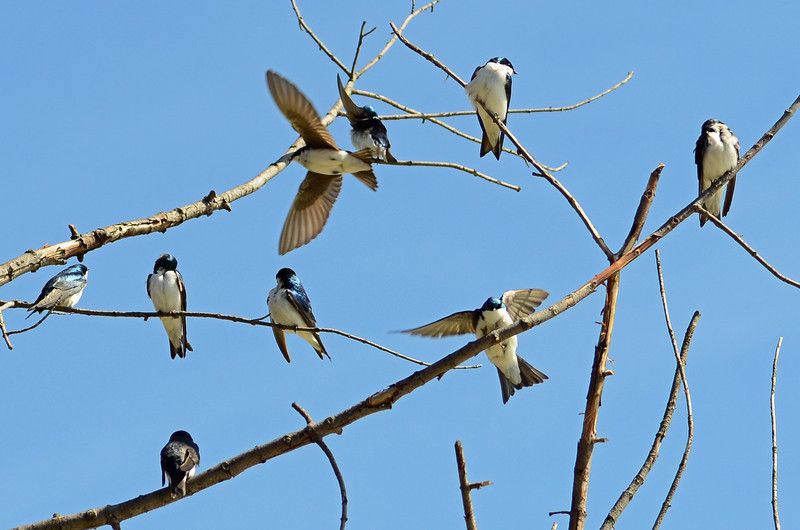 Tree swallow (2)