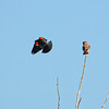 American kestrel (3)