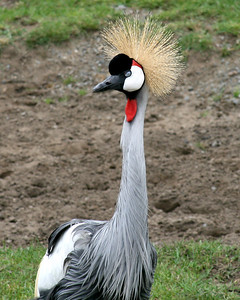 East African Crowned Crane Balearica regulorum  San Francisco Zoo