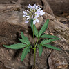 Cut-Leaf Toothwort