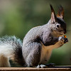 Abert's Squirrel - 25 Feb 2020