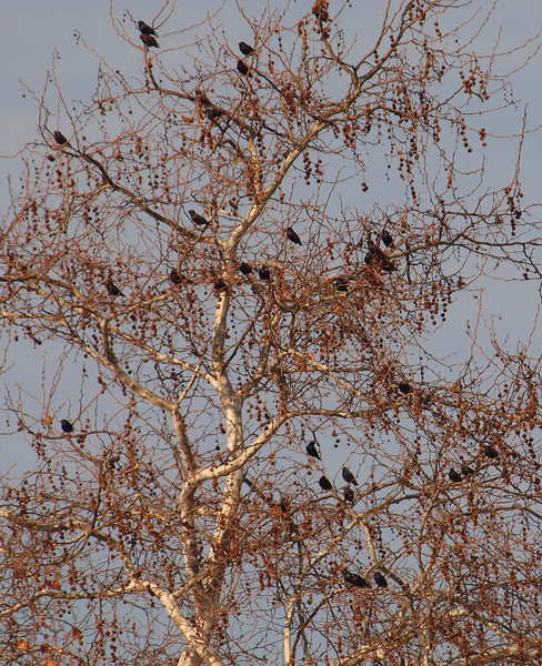 Birds in Sycamore Tree - 30 Jan 2010