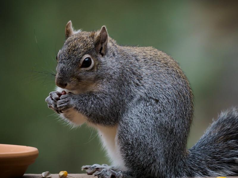 Grey Squirrel - 27 Nov 2019