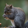 Grey Squirrel - 27 Nov 2019