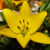 Yellow Lilly - 23 Mar 2010