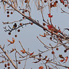 Bird in Sycamore Tree - 9 Jan 2010