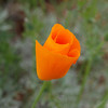 California Poppy - 3 Apr 2010