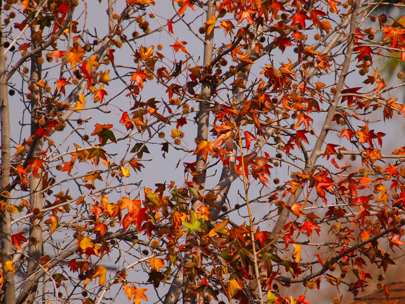 Fall Leaves in Cypress - 8 Jan 2011