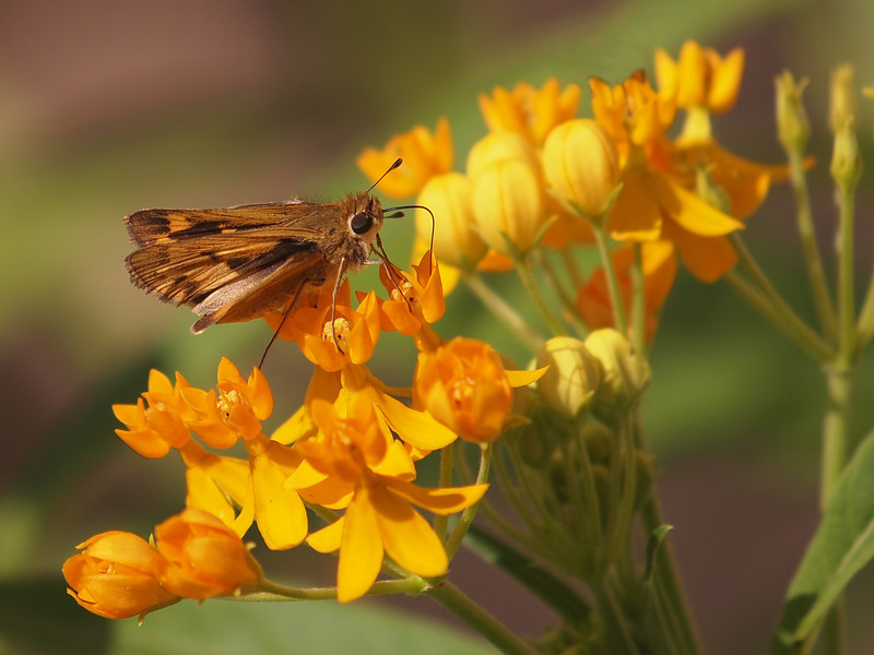 Rural Skipper on Gold Milkweed - 20 Sept 2011