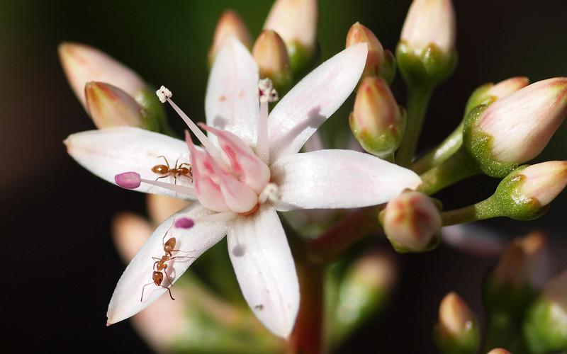 Jade Flower and Ants - 13 Dec 2009