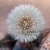 Dandelion Seed Puff - 6 Jan 2010