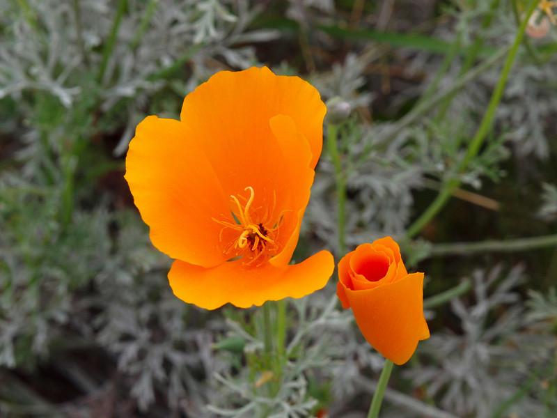 California Poppy - 3 Apr 2010