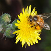 Bees and Dandelions - 5 Jan 2010