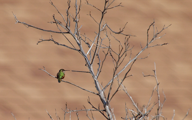 Hummingbird - 9 Jan 2010