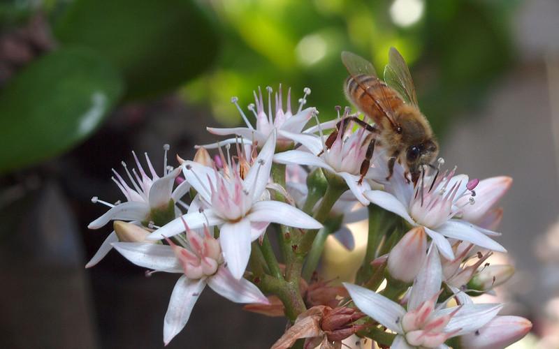 Bees and Jade - 5 Jan 2010